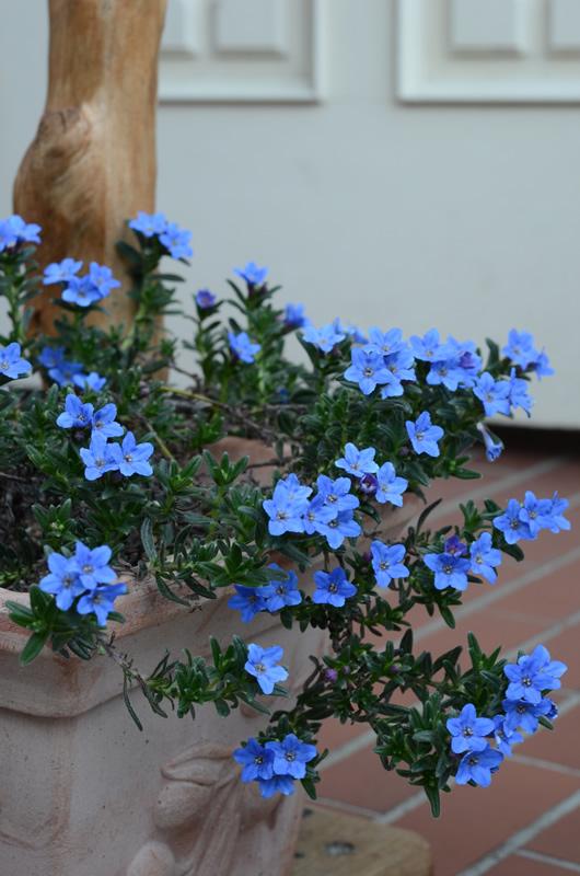 blue.little.flower_800.jpg
