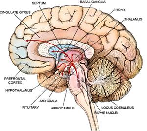 brain-limbic300