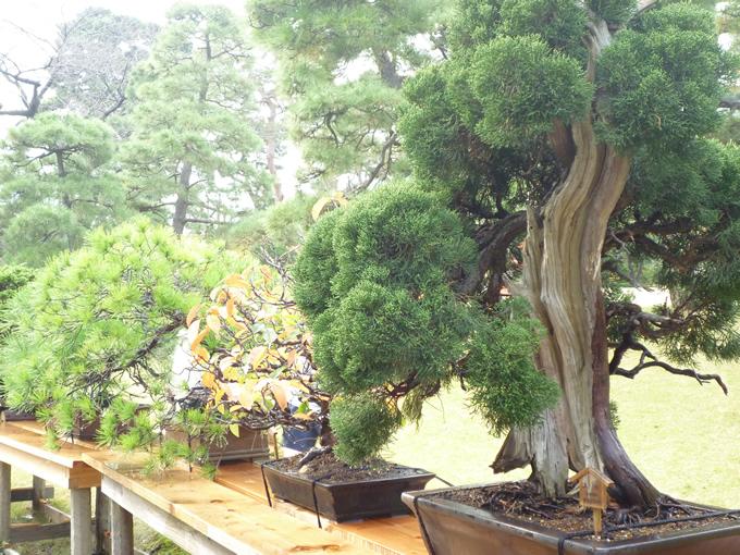 hatobus6_bonsai