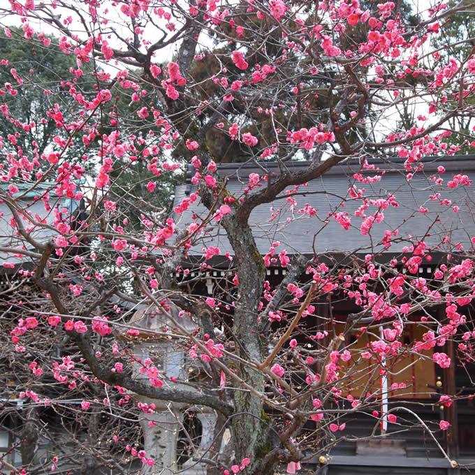 kyoto_umepink2