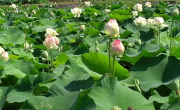 lotusfield360