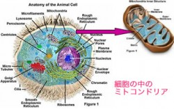 真核細胞の中のミトコンドリア