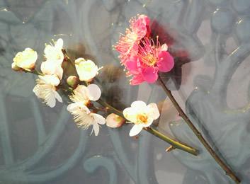 紅梅&白梅〜うっとりする様な芳香です