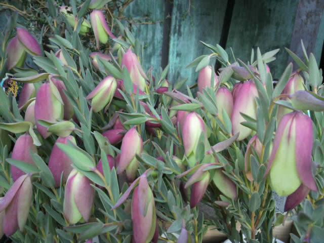 shirogane_flower3_6401