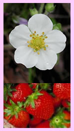 strawberryflower