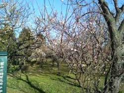 美しい梅の畑